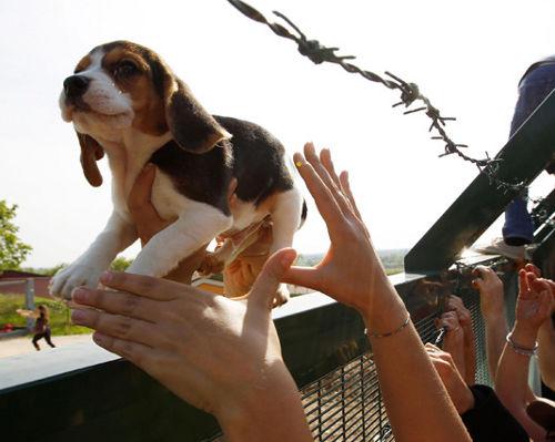i cuccioli di Beagle vengono liberati