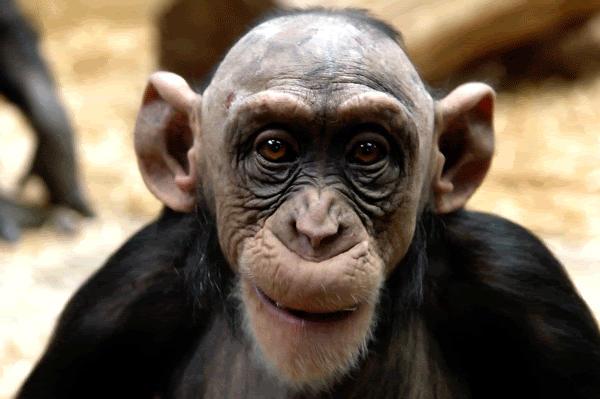 scimmia calva
