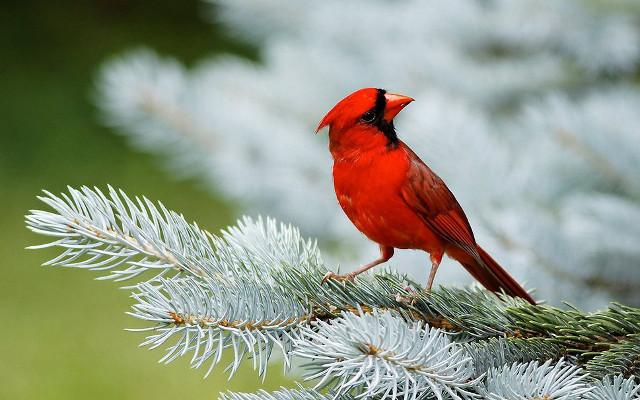 cardinale-rosso.jpg