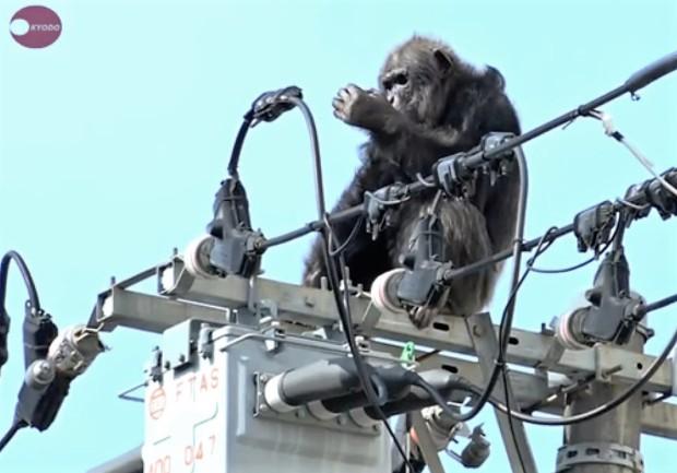 scimpanzè-cavi-elettrici
