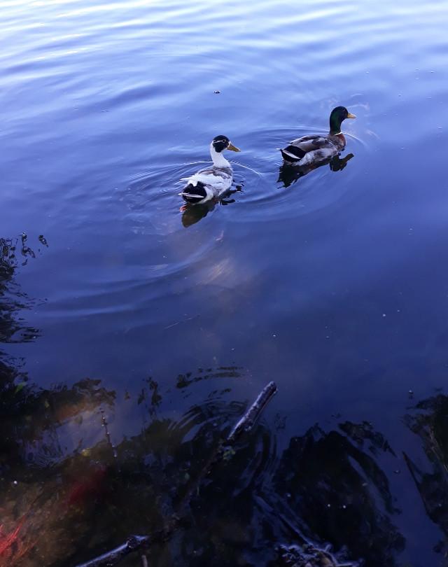 anatre sul lago - foto di Iannozzi Giuseppe